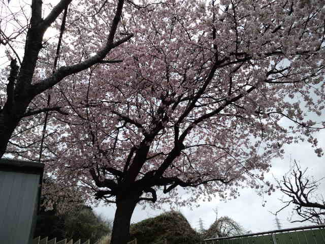 2013 桜