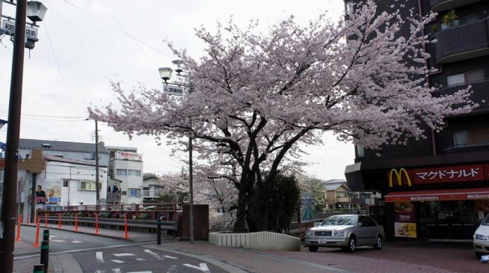 和田町駅前の満開の桜です