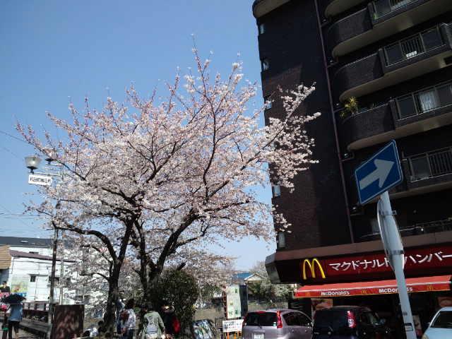 和田町駅前の今年の桜です